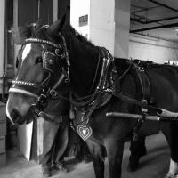 closeup up on horse pulling a carriage
